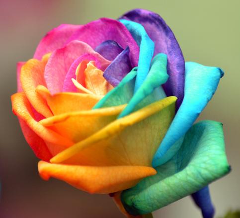 Coloured Rose