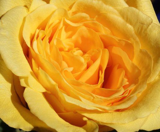 Roses... 4