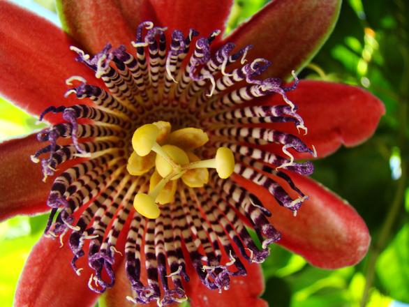 Passion fruit flower 4