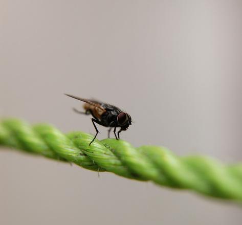 housefly 1