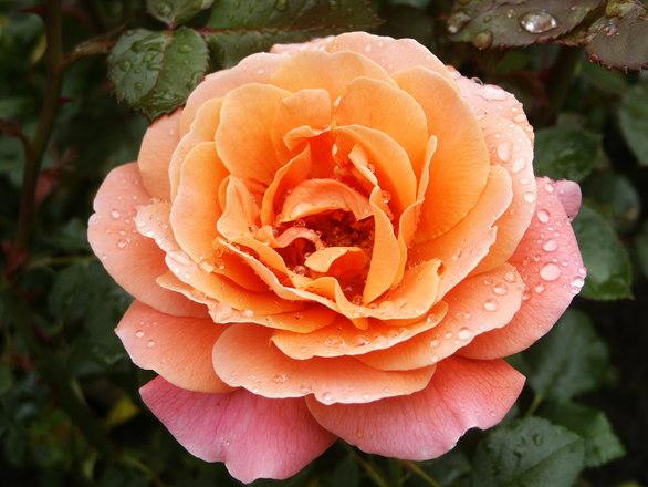 Rose olsztyn
