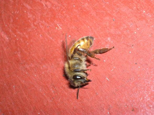 Abeja Bee