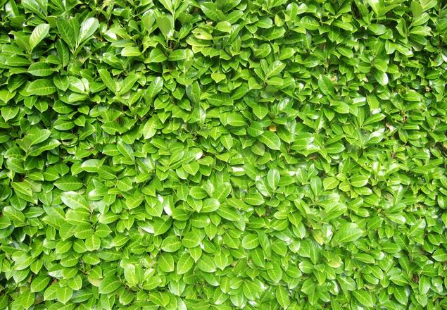 texture - laurel hedge