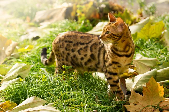 ~*Tallercito de Kiiara95*~ - Página 2 Bengal-cat-playing-in-garden-1336419