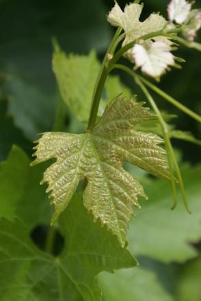 Merlot vine leaf