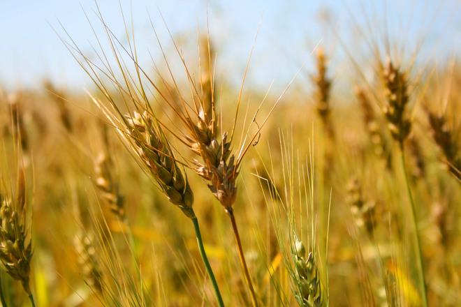 Kansas wheat 1