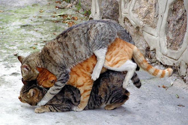 Фото коты ебутся