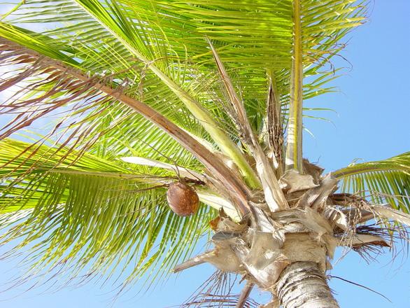 Palm tree Curacao