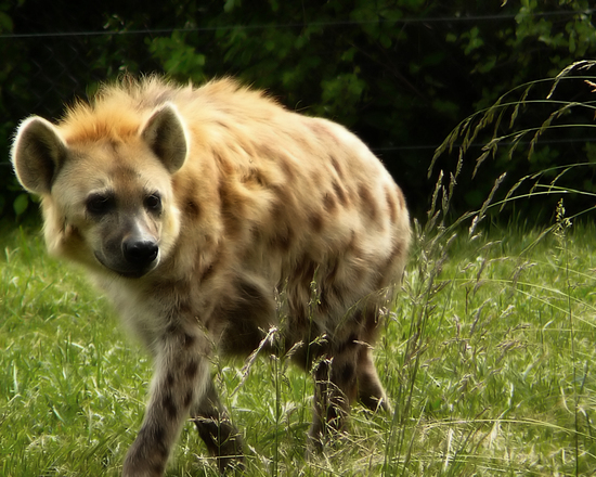 Laughing hyena. 1
