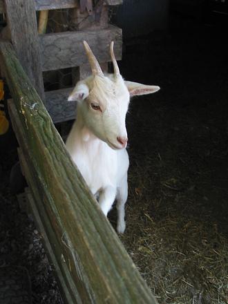 a cute little goat