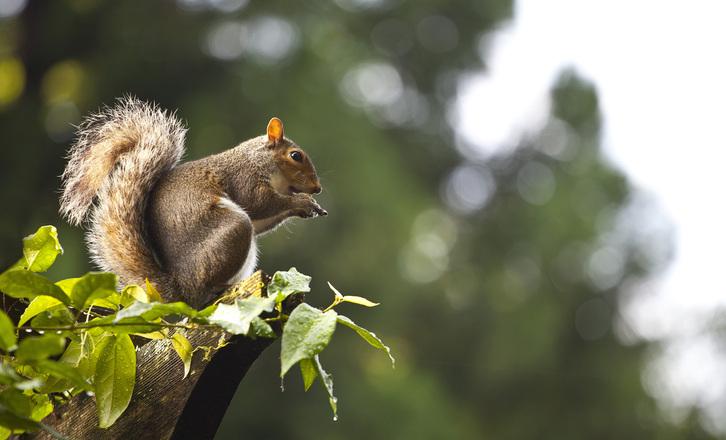 Squirrel at the South Carolina Botanical Garden