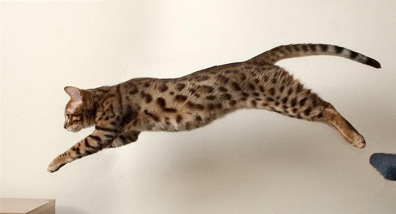 Free Jumping Bengal Cat Stock Photo FreeImagescom