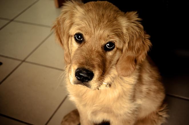 Our puppy Samantha 1