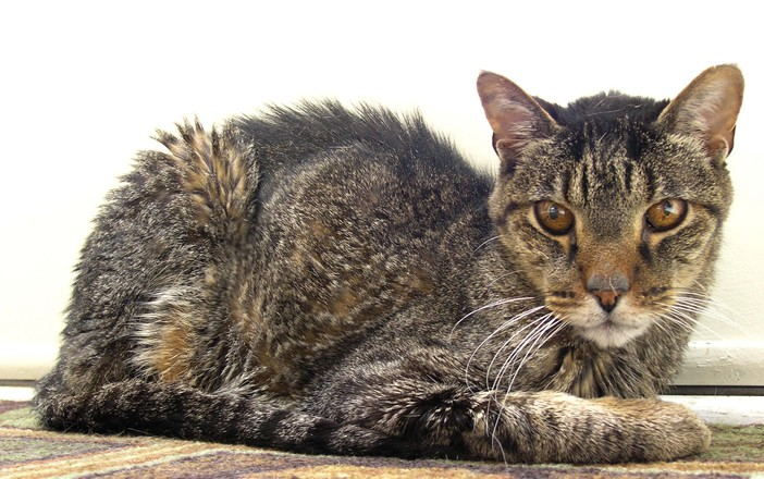 what is a civet cat