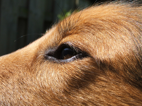 Lassie's eye