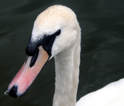 swans on the Serpentine