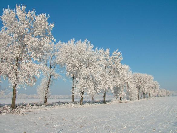 White trees [pl]