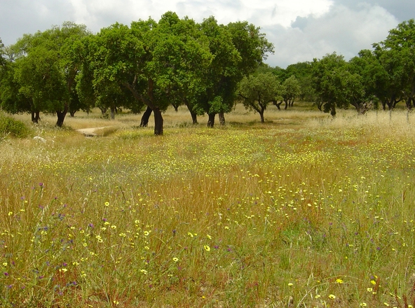 Free Grass Meadow With Wild Flowers And Old Oak Trees