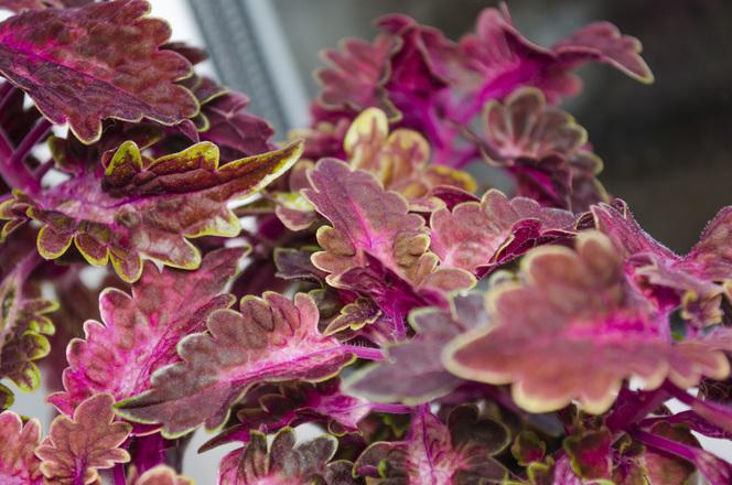 Red flower Coleus