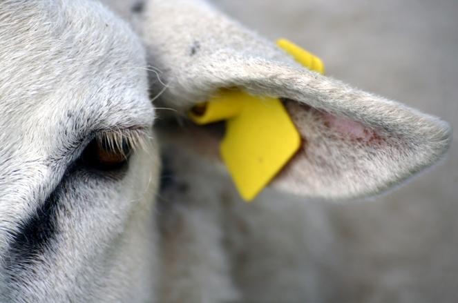 Close-up Sheep