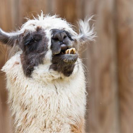 Bad Hair Day - Alpaca