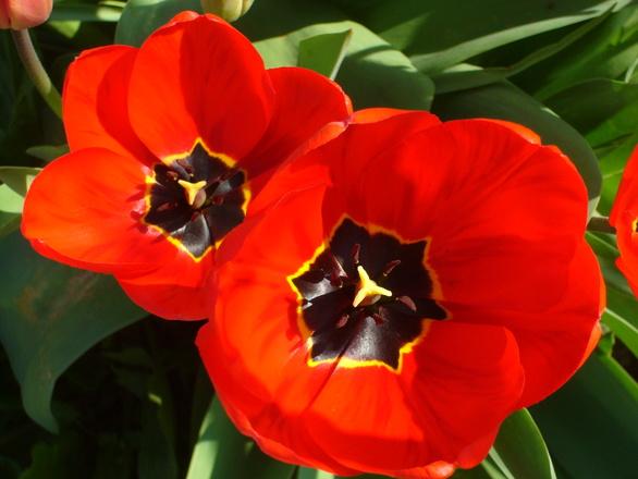 Tulips compositon