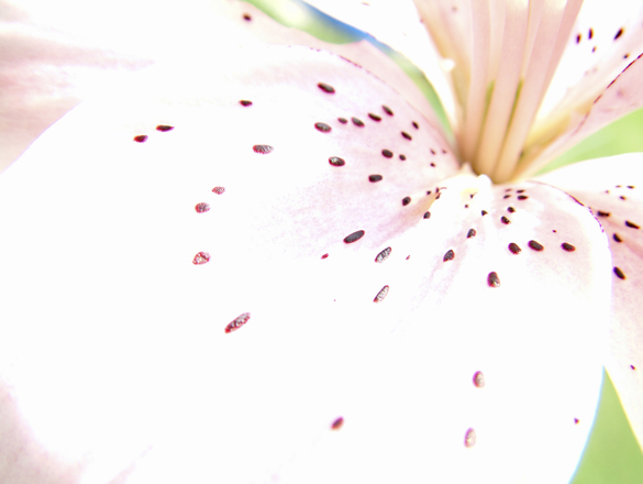 pink lily 4
