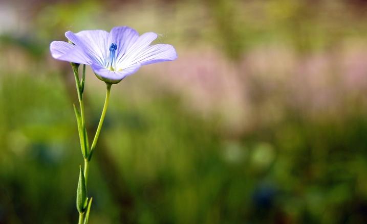 Little blue flower 3
