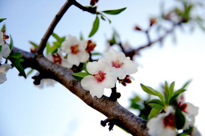 Branch of flowering almond tree
