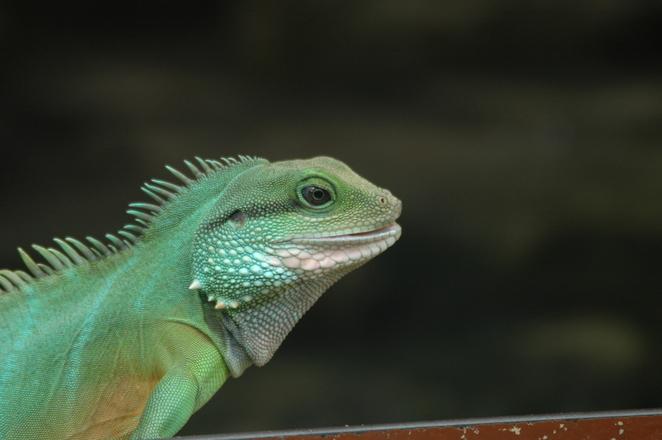 free iguana stock photo