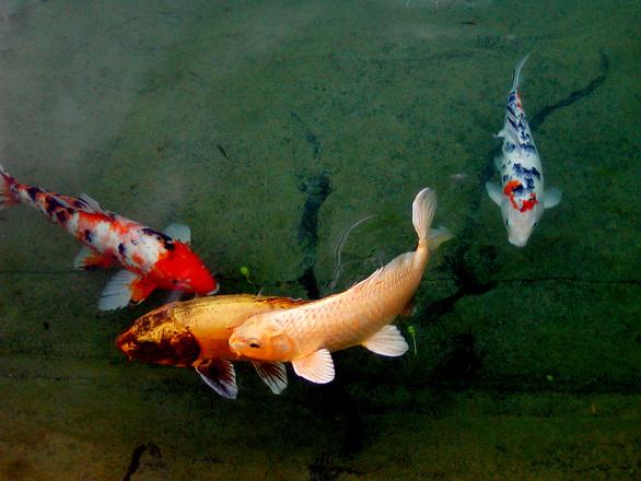 Free fish pond 2 stock photo for Carpe koi charente maritime
