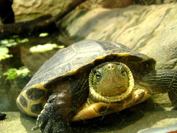 маленькие породы черепах с фото