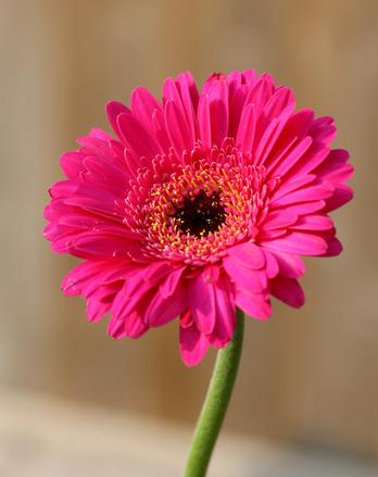 Beautiful Pink Gerbra flower