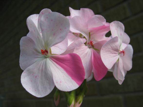 """Eggshell geranium """"Sparkler"""
