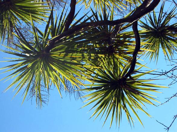 New Zealand Cabbage Tree