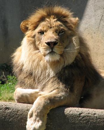 Lion sitting profile - photo#24