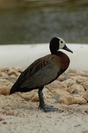 Pato - Duck
