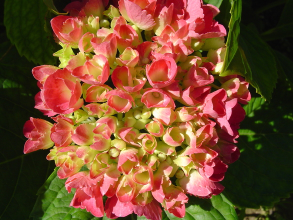 hydrangea flower 1