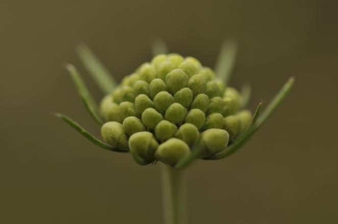 unblown little flower