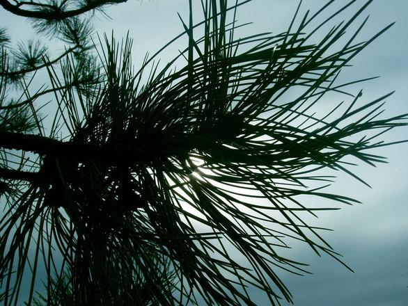 Black Hills Pine