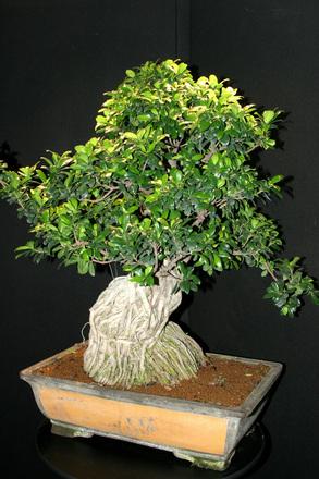 bonsai law