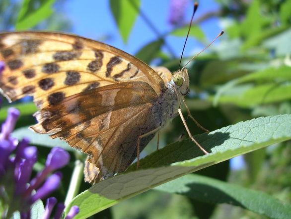 papillon小提琴曲谱