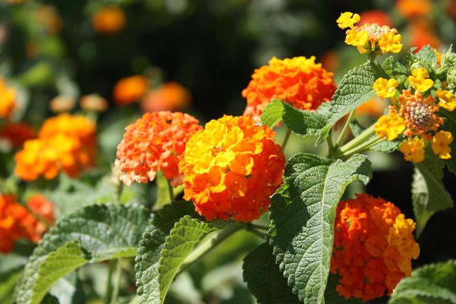 Free Lantana Orange Stock Photo Freeimages Com