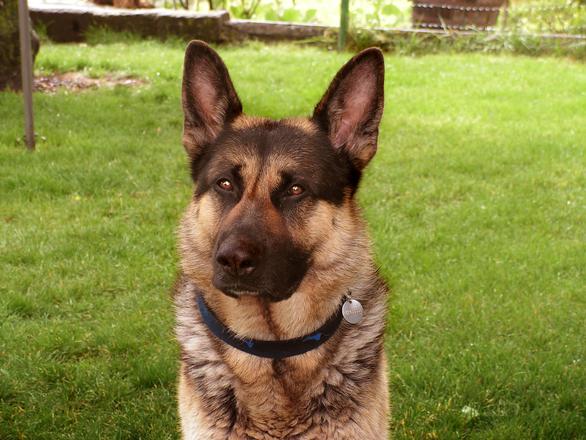 German Shepherd GSD