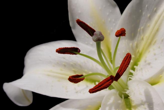 Free Lily Close Up 3 Stock Photo Freeimages Com