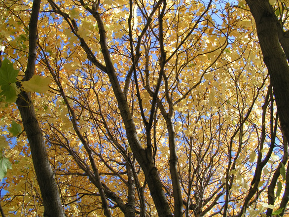 Autumn Canopy - Yellow