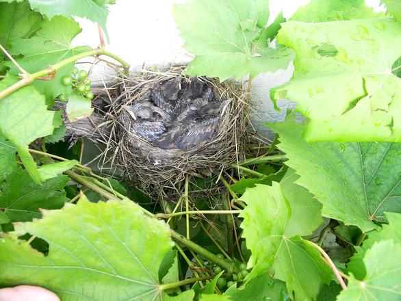 blackbird, young