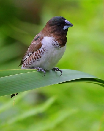 Grass Finch 1