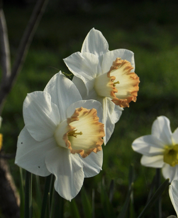 Григ весенний цветок