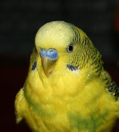 Papukaija